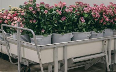 Munka virágokkal Noord-Holland régió